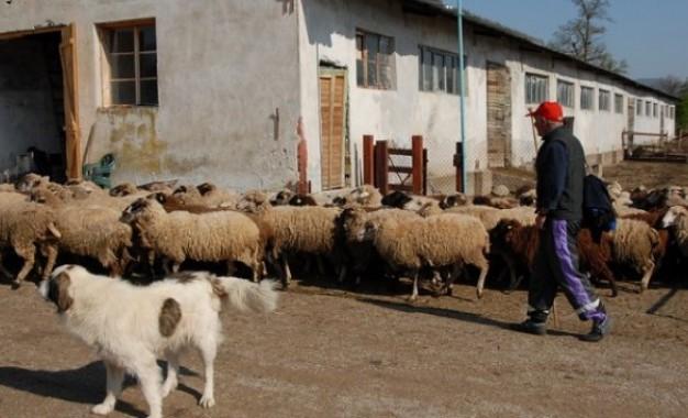 """35 животновъди от Сатовча очакват да получат обезщетения за загинали от """"син език"""" домашни животни"""